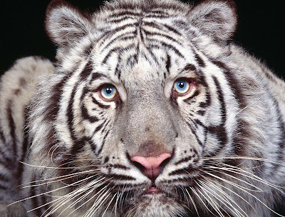 White Tiger Wallpapers 09