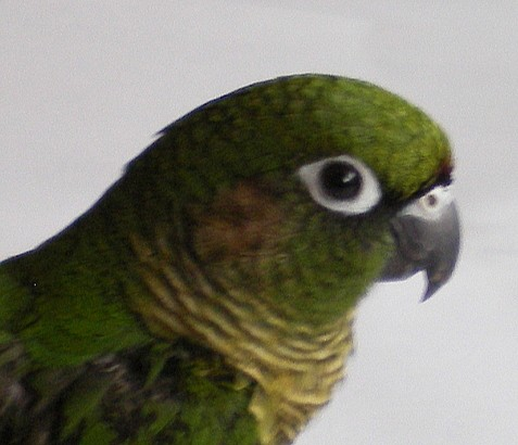 Barnafülű papagáj - Pyrrhura frontalis