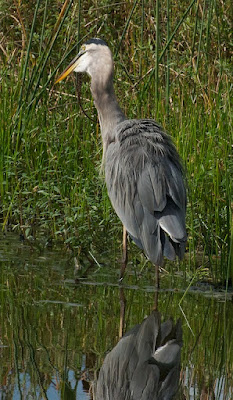 Great Blue Heron with Florida Watersnake (Nerodia fasciata)