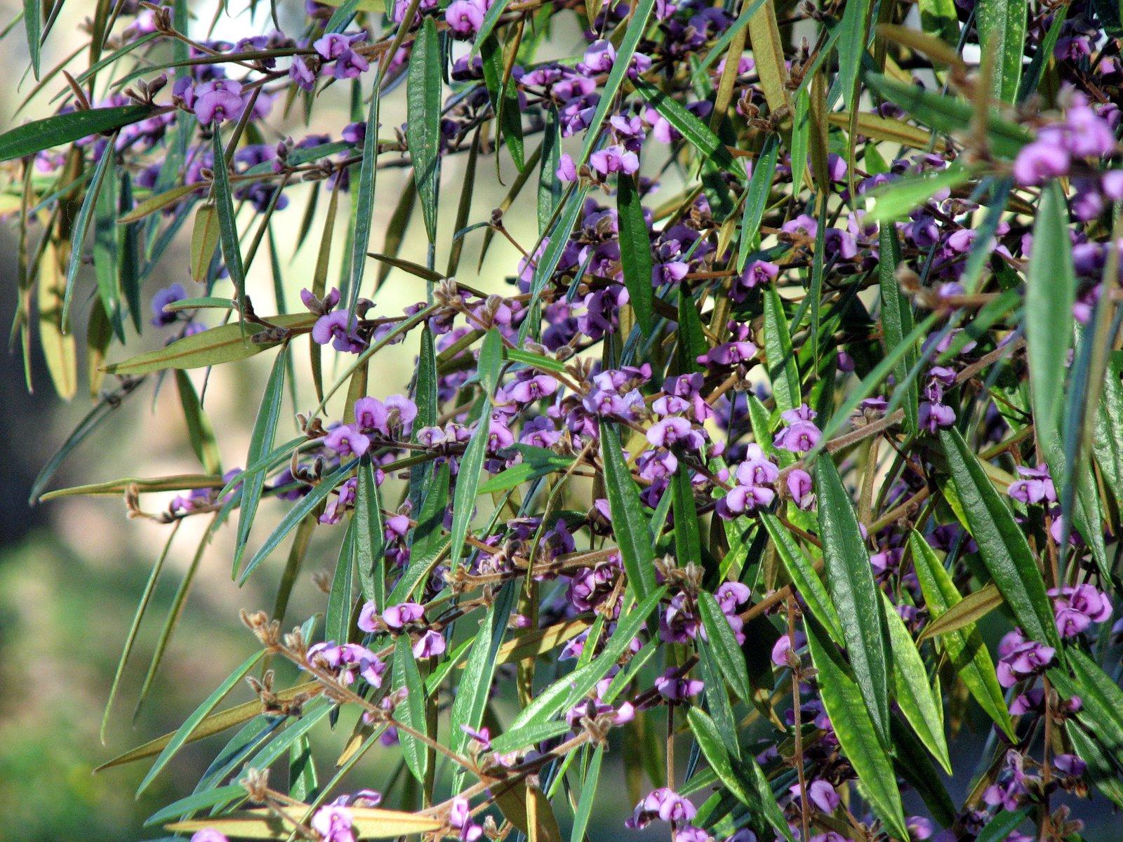 Native Plant graphy Hovea acutifolia Purple Pea Bush In Flower