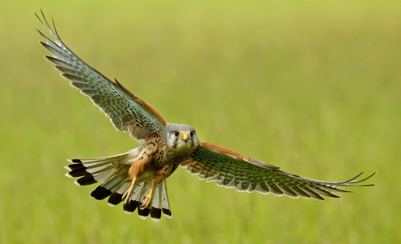 Cool Peregrine Falcon The Fastest Animal On Earth