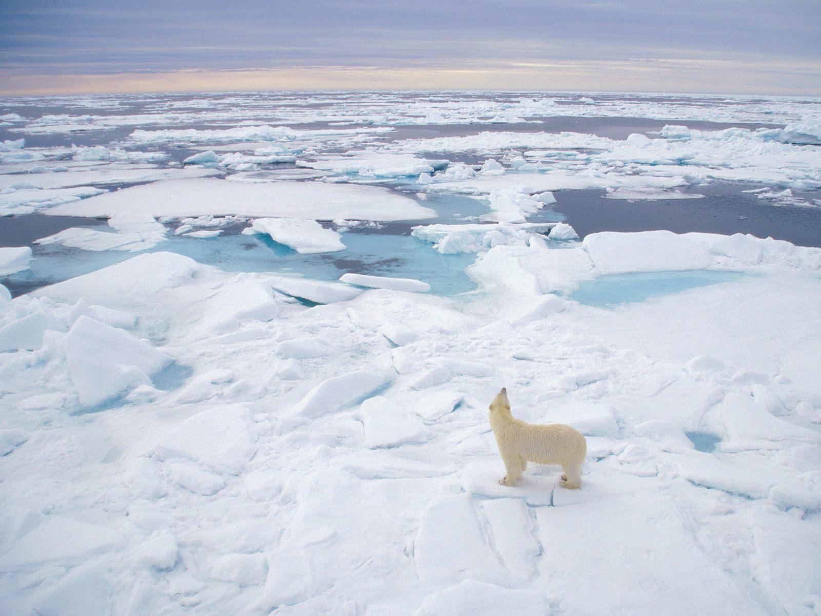 Polar Bears Background Polar Bear Backgrounds
