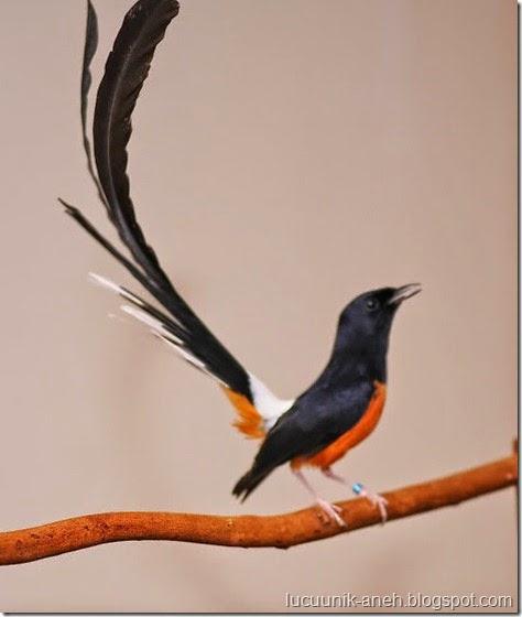 Foto Burung Murai Batu Terbaik