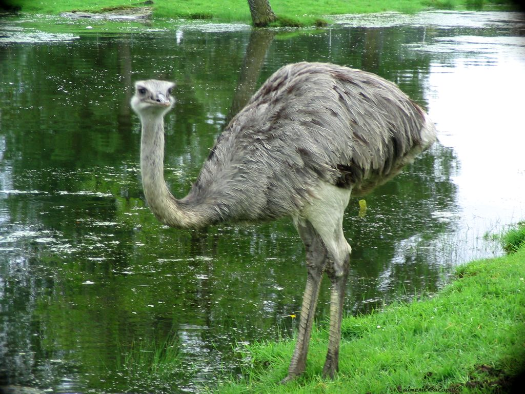 ostrich bird The ostrich (struthio camelus) is a flightless bird native to africa it is the only living species of its family, struthionidae, and its genus, struthio they are distinct in their appearance.