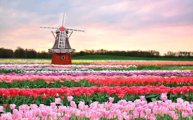 Foto van tulpen en een oude windmolen