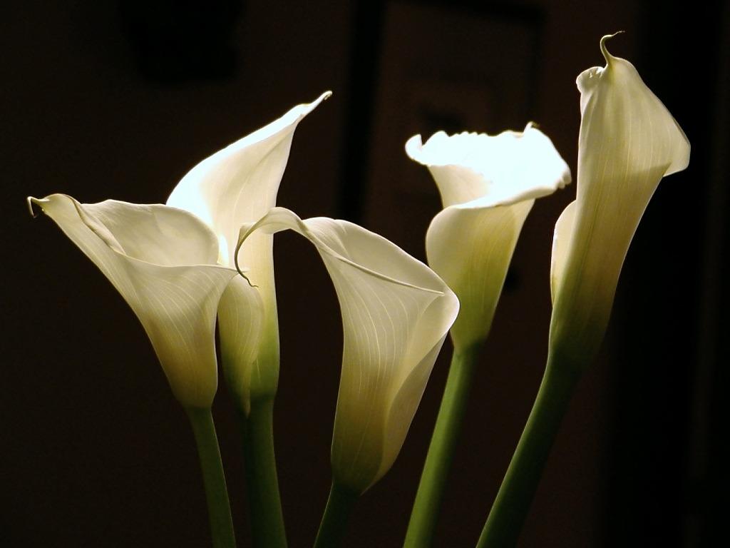 Fotos de flores de calas 57