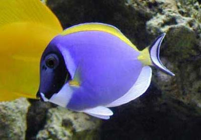 Info junction blog powder blue tang for Blue tang fish facts