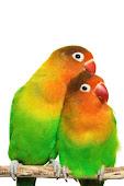LoveBirds/ Agapornis RM650- RM800
