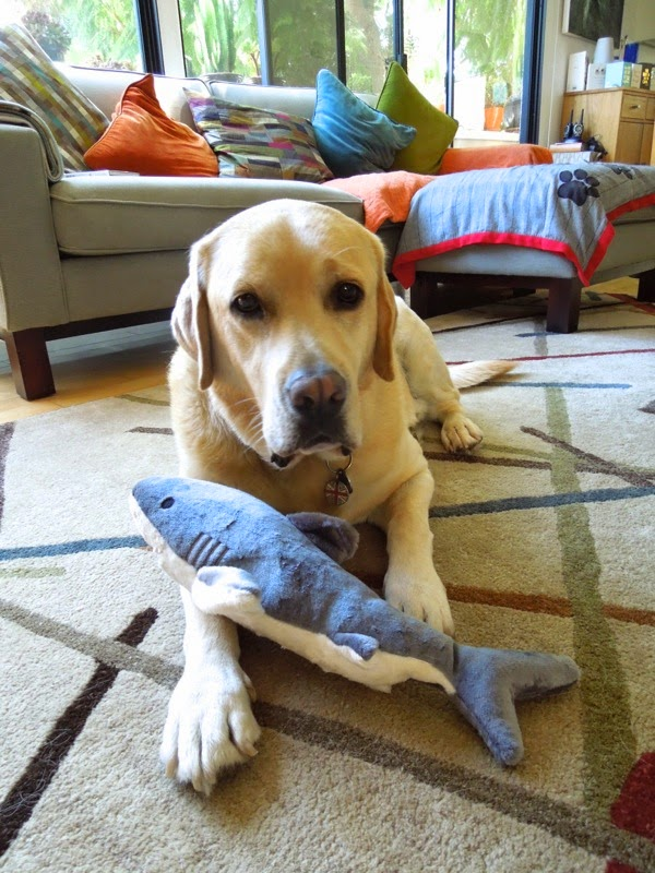 6 year Labrador Cooper shark toy