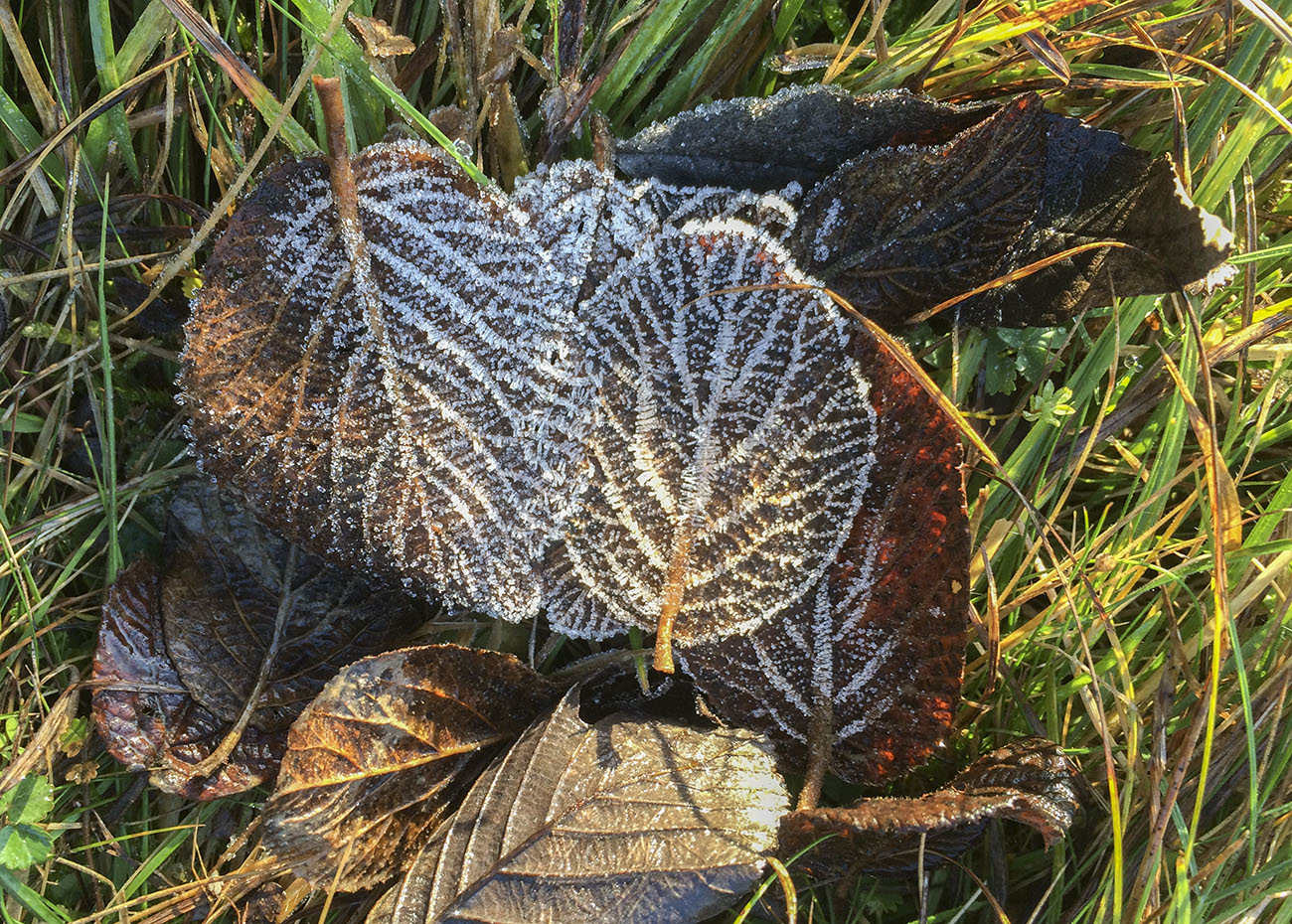 Frosted Wayfaring-tree leaves, Viburnum lantanum.  Trosley Country Park, 29 December 2013.