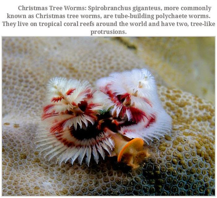 Weird animals (20 pics), strange animal pictures, christmas tree worm