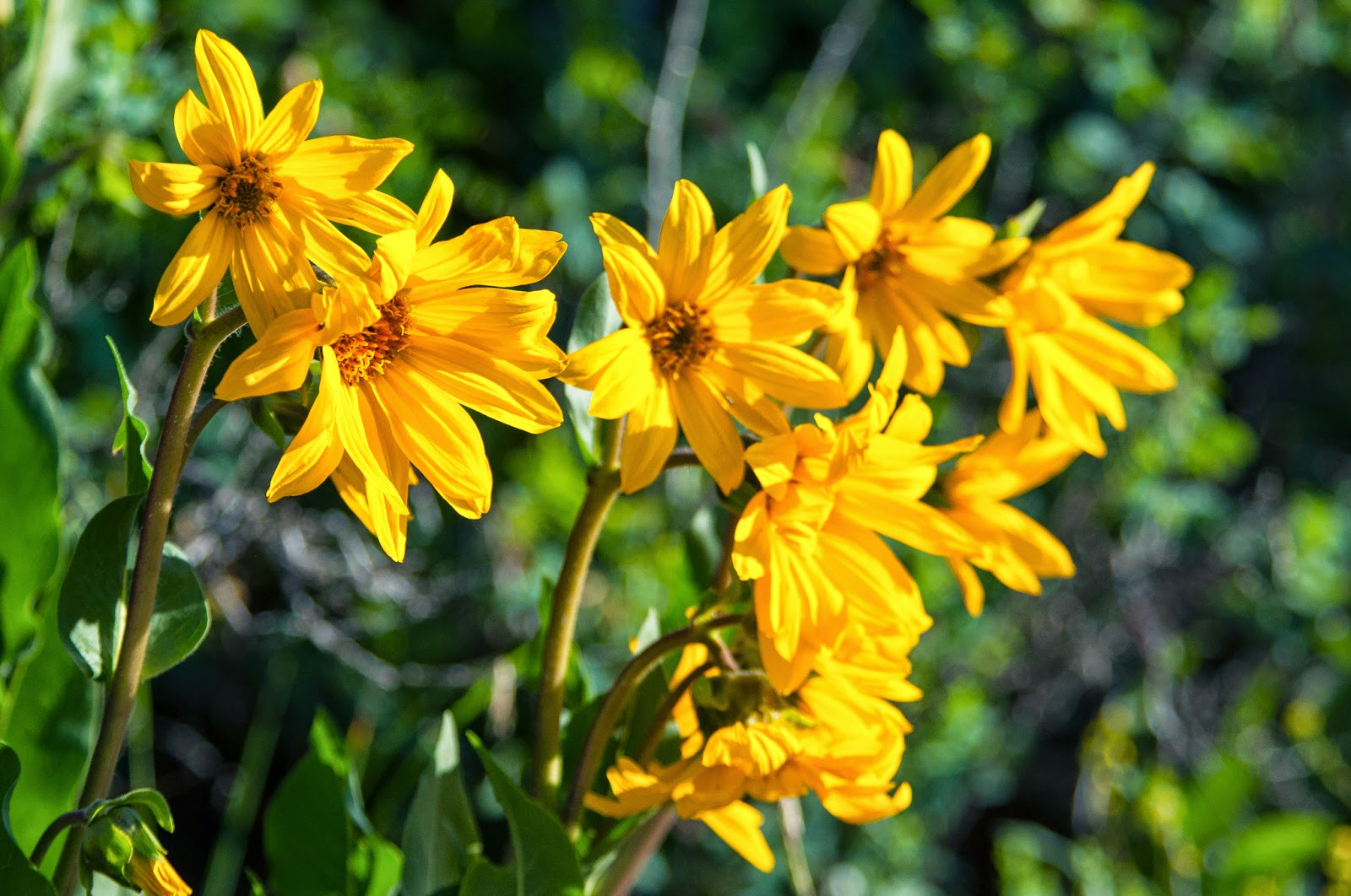 Mule's Ear Sunflowers