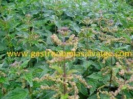 Ortigues florides