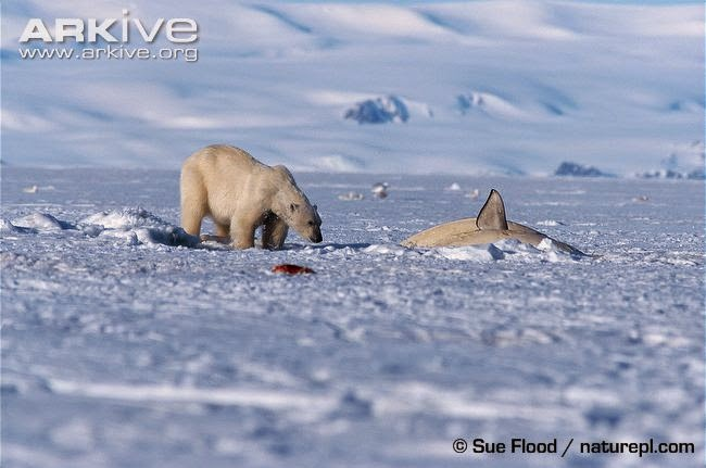 Polar bear and Beluga