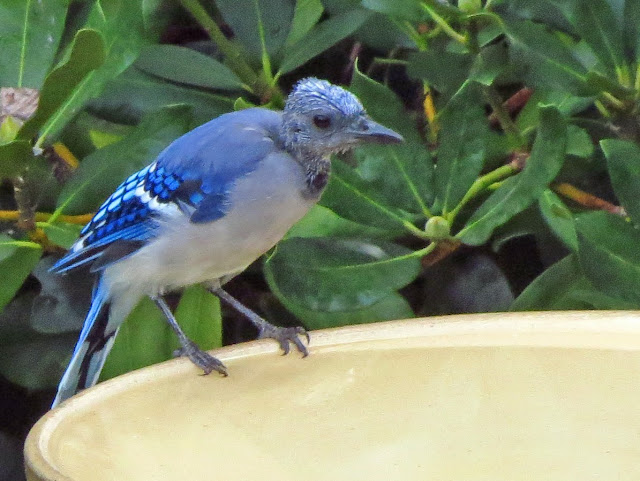 bald blue jay on bird bath