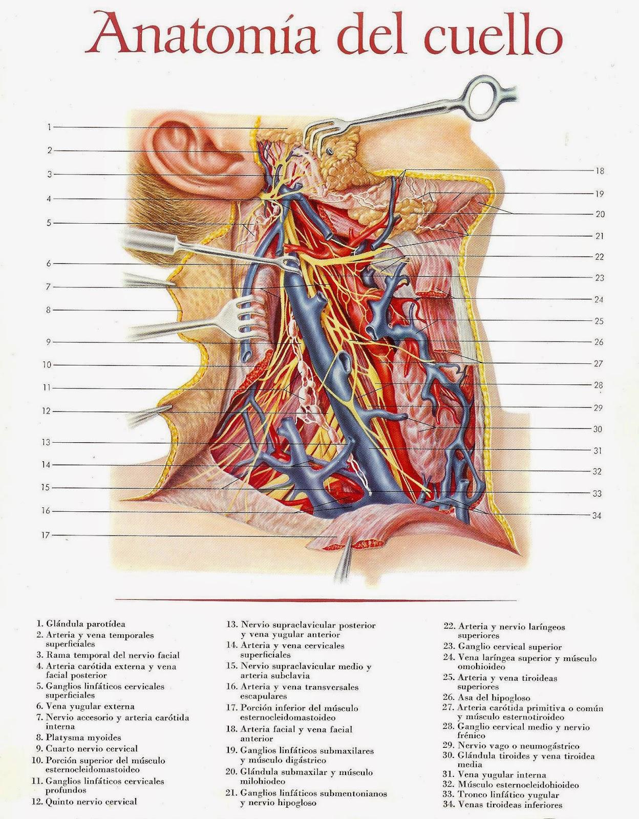 Contemporáneo Anatomía De Su Cuello Friso - Anatomía de Las ...