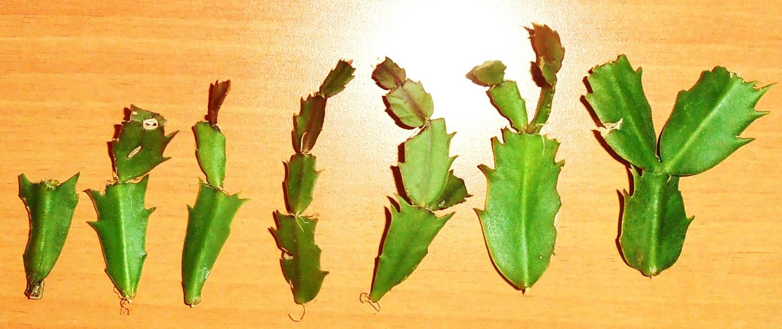 La ventana de javiruli plantas de interior 20 esquejes for Como plantar cactus