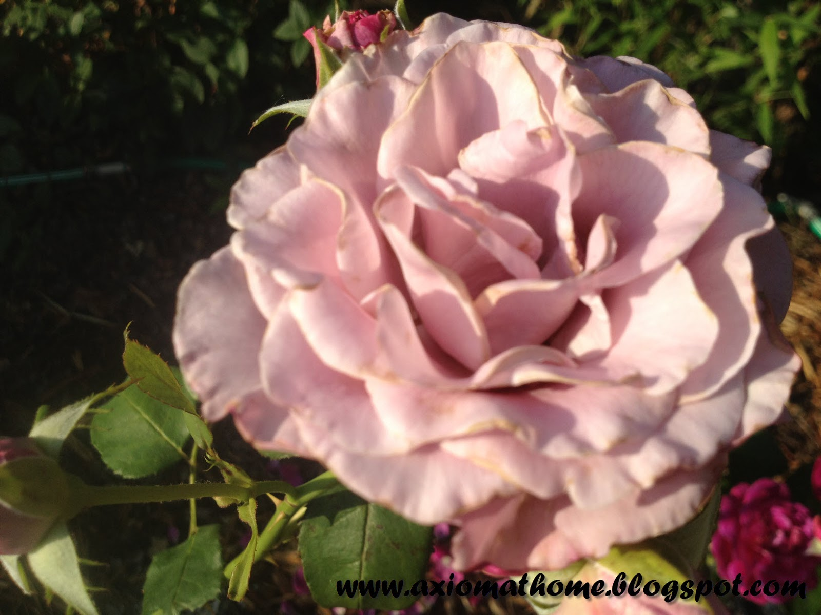 Natural Remedy For Blackspot On Roses