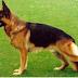 Los perros guardianes más peligrosos, top 5 de los mejores