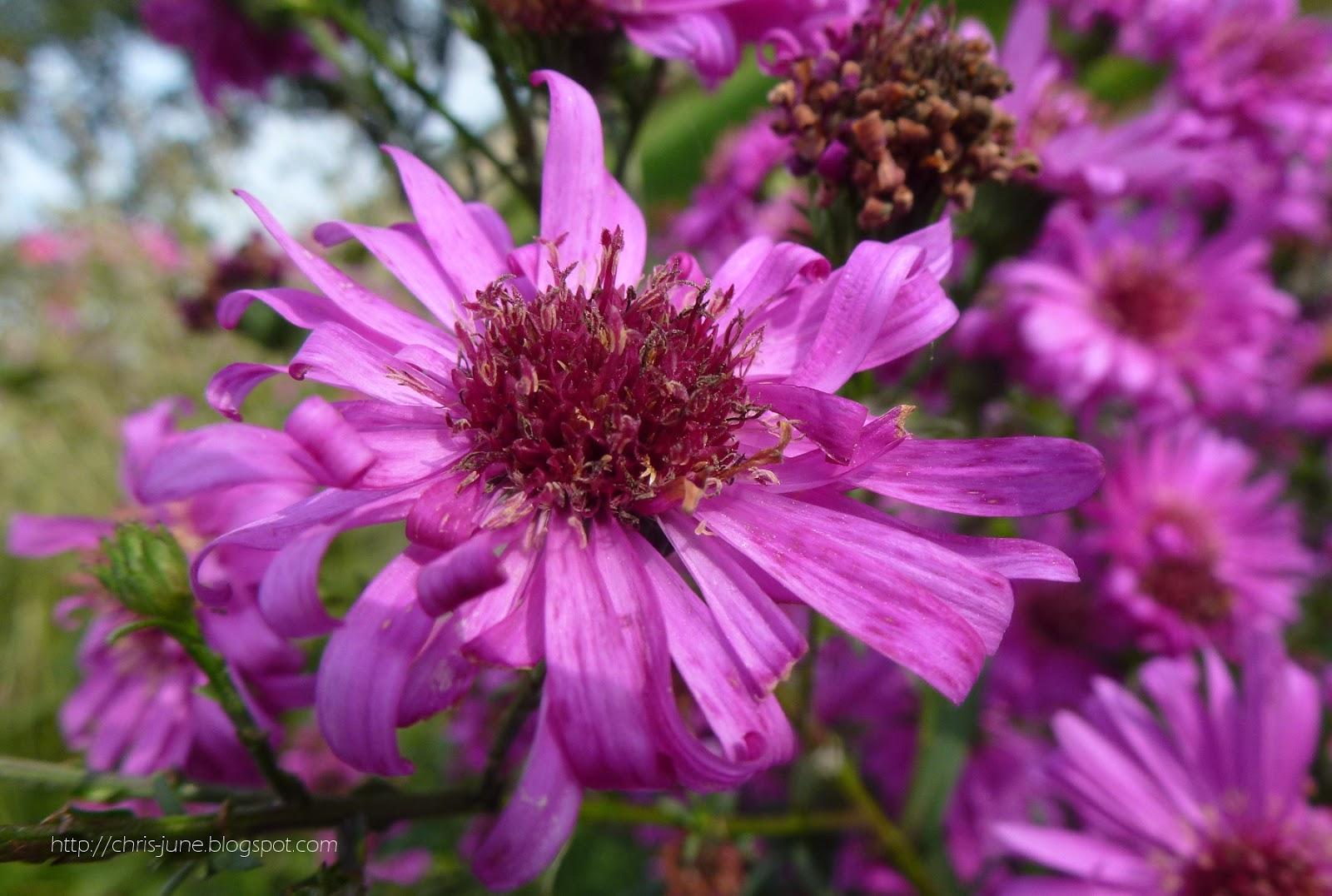 Kissenaster pink