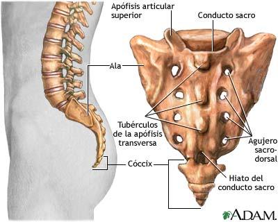 El cóccix - Anatomía Descriptiva