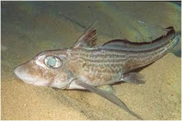 Ikan Chimaera