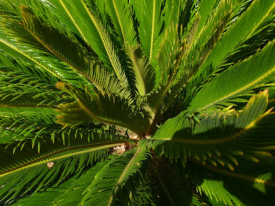 Binomen Art - Cycas revoluta - Leaves