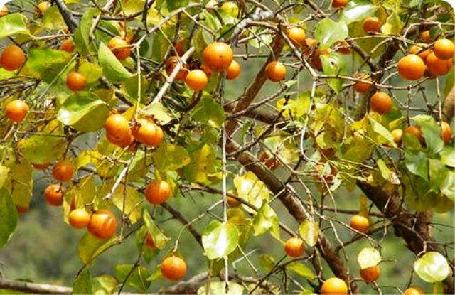 Tanaman Paling Mematikan - Pohon Strychnine
