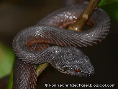 Shore Pit-viper (Trimeresurus purpureomaculatus)