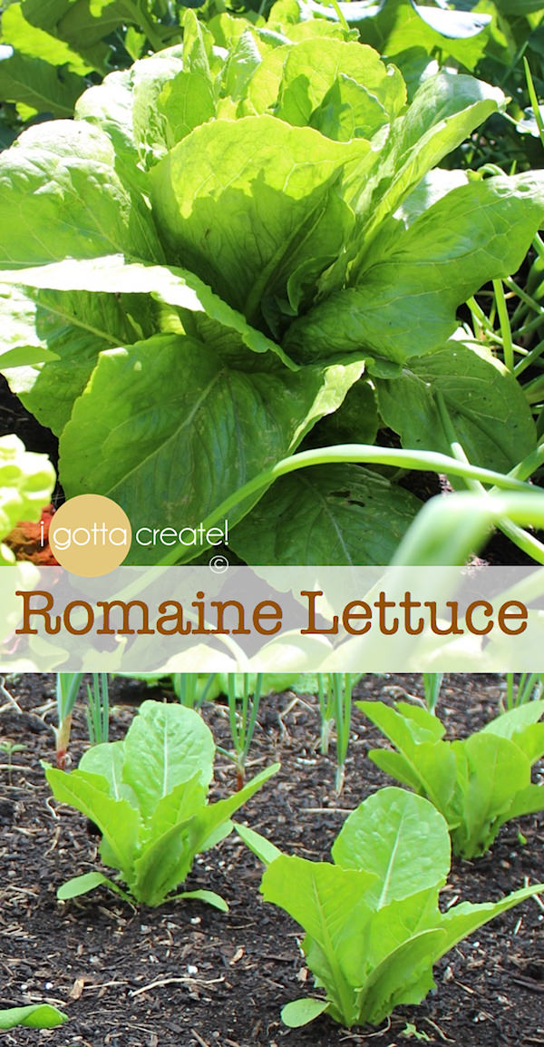 How to grow lettuce, spinach and kale - highly nutritious greens! | visit I Gotta Create!