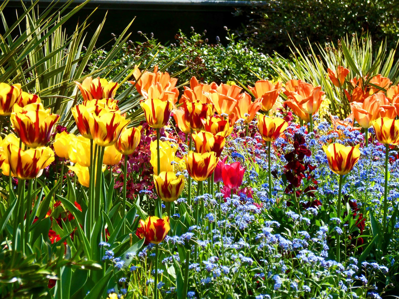 Photo of yellow/red, orange and pink tulips