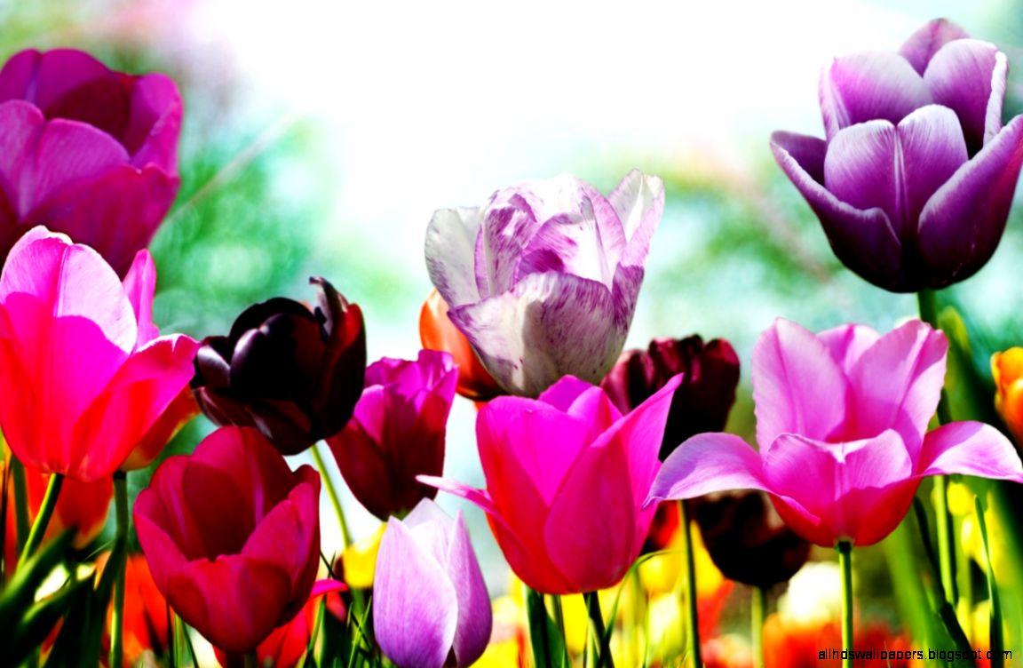 1280x800 Tulips in spring desktop PC and Mac wallpaper