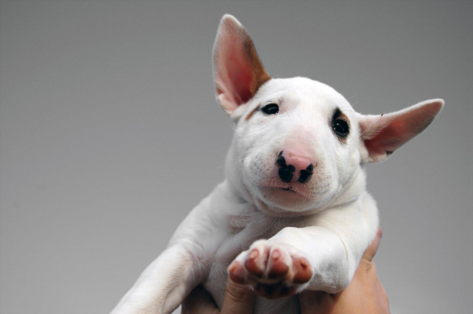 N S Os Cachorros No Jap O Ra As De Cachorro Bull Terrier