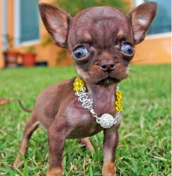 R Chihuahuas Smart Pissed Off: Least Inte...