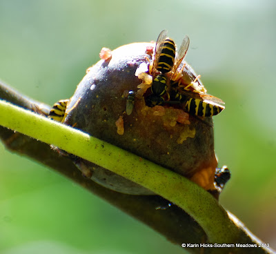 wasp feeding on fig