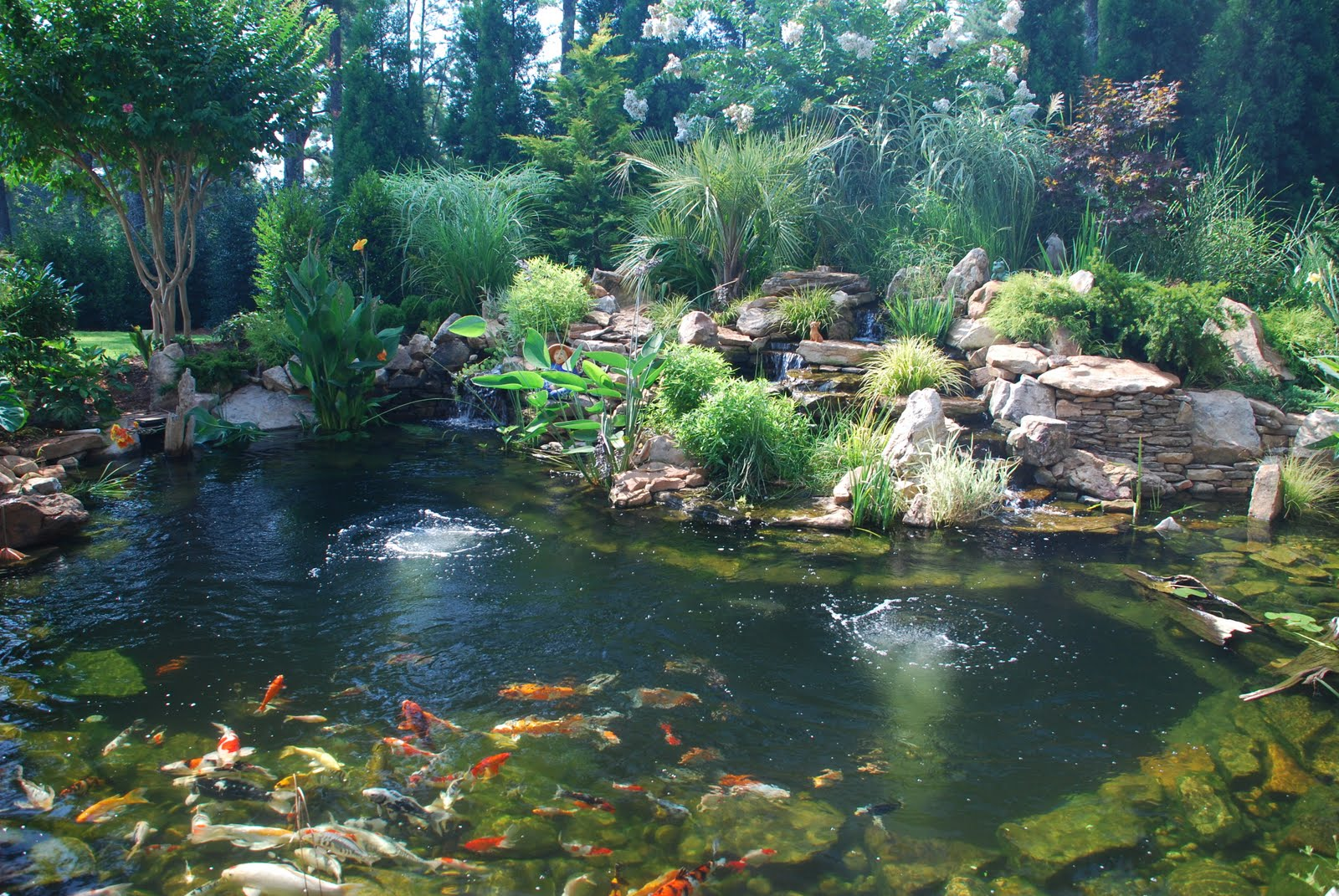 Splendor koi pond koi ponds require diligence for Pond landscape