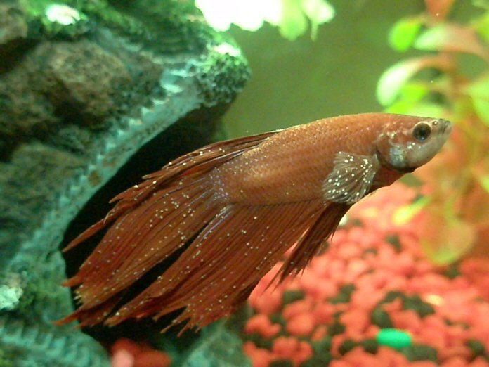 diseases and treatment of your betta fish betta fish