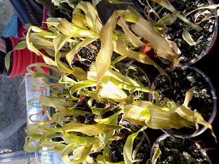 frost bitten sweetcorn plants