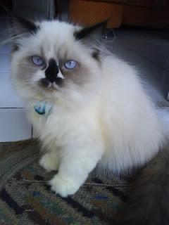 Kucing Persia Tasikmalaya