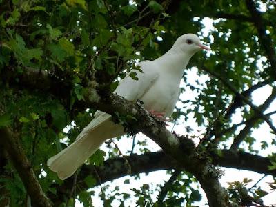 White dove in tree