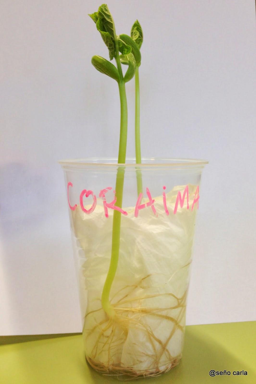 El blog de la se o carla proyecto plantamos jud as - Como preparar unas judias verdes ...