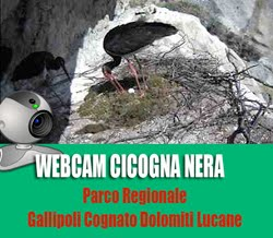 Webcam Cicogna nera 2015