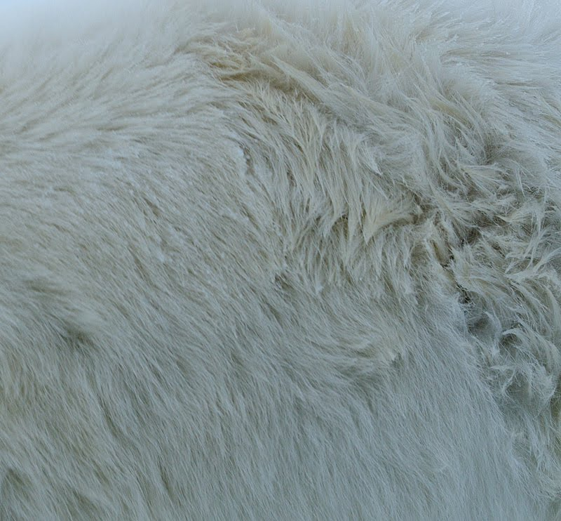 jääkaru selg, back of Polar bear