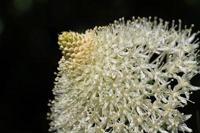 Xerophyllum tenax (Bear Grass)