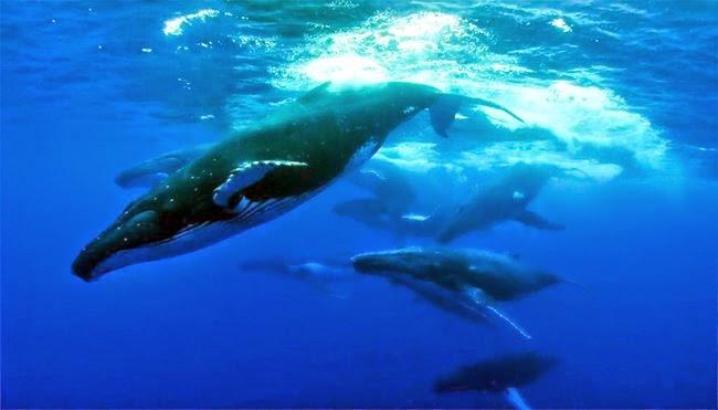 australia lucha por detener la caza de ballenas