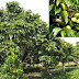 4 nabbed for cutting pili tree