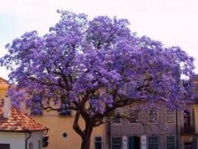 The Advantages Of Paulownia Trees