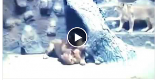 الفيديو: أسد غيور يقتل لبؤة خانته بطريقة غريبة جدا