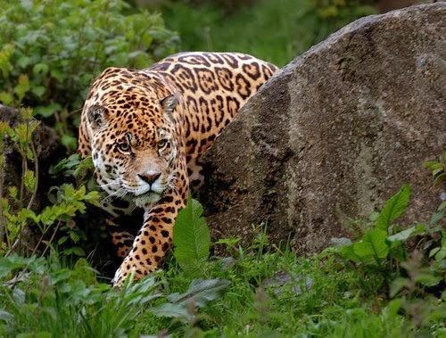 jaguar-felino