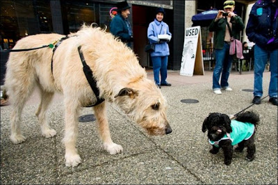 Giantdogs+%25287%2529  Σκυλιά… γίγαντες (photos)